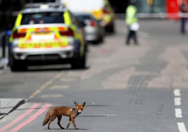 An urban fox crosses the road near Borough Market