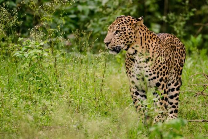 Leopard electrocuted