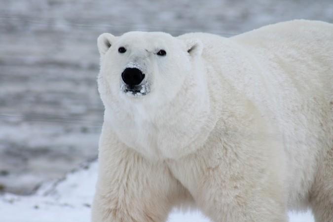 polar bear, mass extinction, environment,