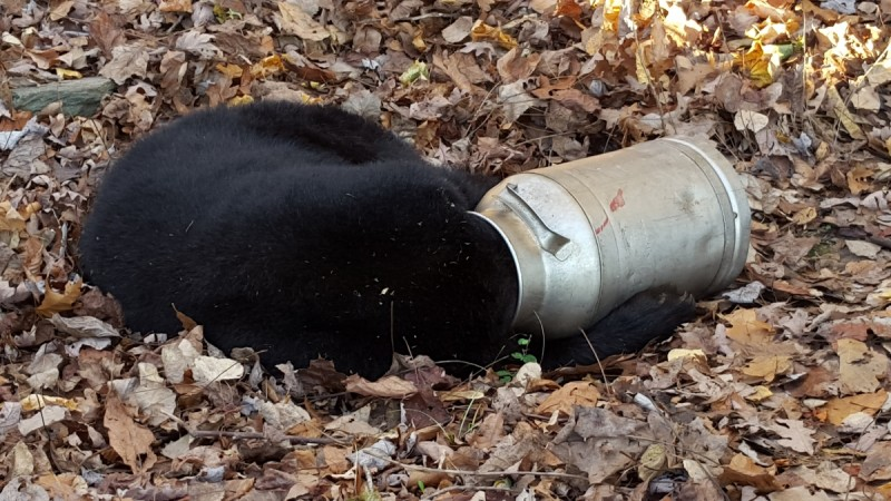 A black bear is pictured with its head stuck in a milk can near Thurmont, Maryland in this November 16, 2015 handout photo. Maryland Department of Natural Resource workers tranquilized the bear before using and electric hand saw to cut the milk can off. T