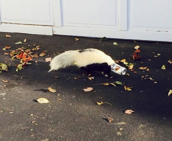 A skunk with a beer can stuck on its head