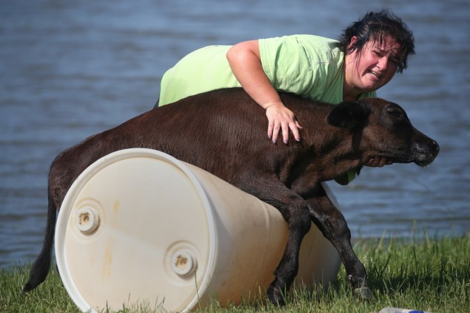 Tonya Sutherland tries to help a calf that was trapped in a fence nearly submerged in flood water in Winnie, Texas, U.S.