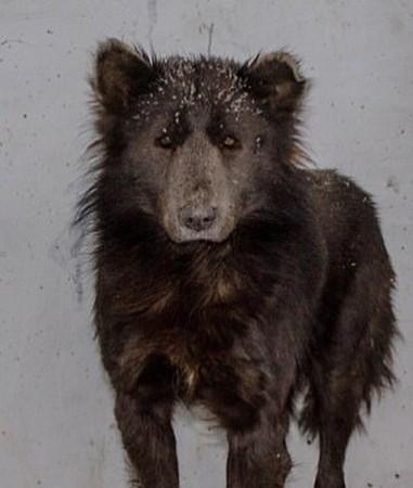The dog that looks like a bear