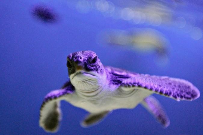 green sea turtle turning female