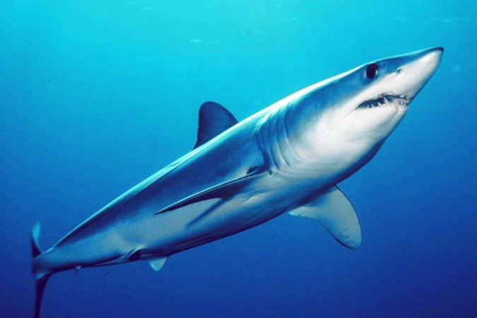 The shortfin mako shark