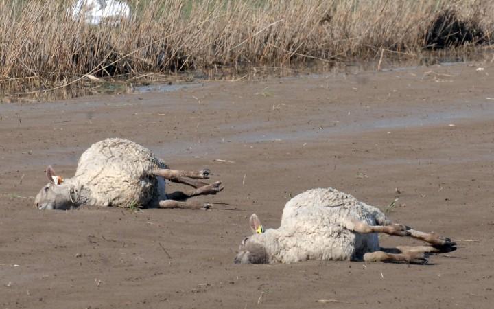 Sheep mutilated