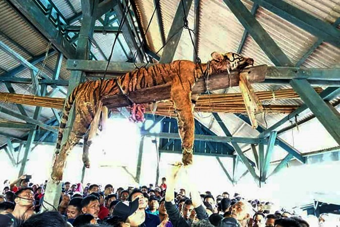 This picture taken on March 4, 2018 shows the carcass of a Sumatran tiger hung from a ceiling as villagers gather underneath at Hatupangan village in North Sumatra. Villagers in a remote Indonesian community disemboweled a critically endangered Sumatran t
