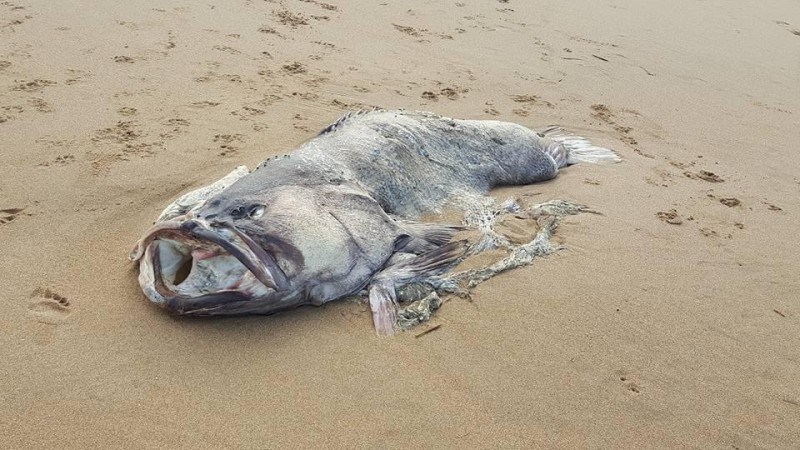 The mysterious creature that washed up on Moore Park Beach, Australia.