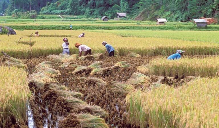 Farmers harvesting their paddy
