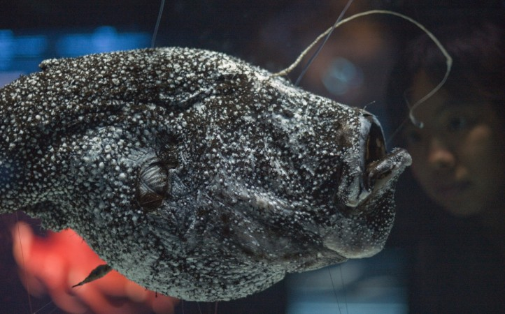 Ever footage of mating anglerfish is strangely mesmerising