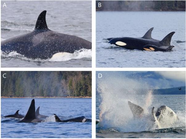 Killer whale behavior