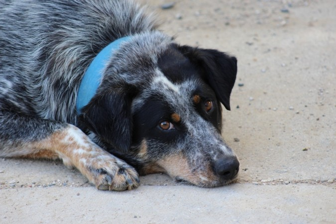 Elderly dog keeps lost Australian toddler safe overnight