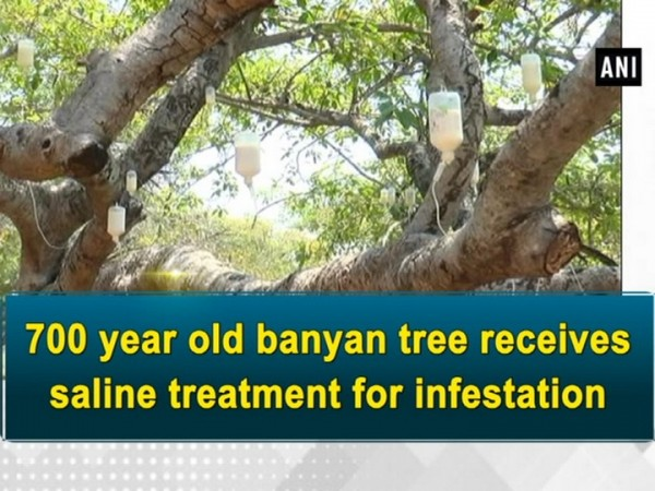 700 year old banyan tree gets saline treatment