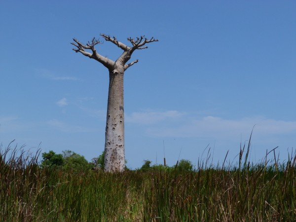 Some of Africa's oldest and biggest baobob trees have died