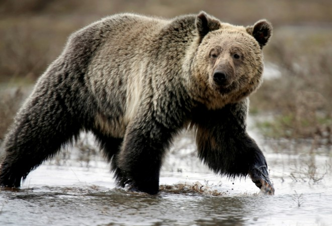 A grizzly bear roams through the Hayden Valley in Yellowstone National Park in Wyoming