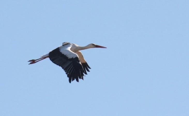 white stork, stork, sim , tracking birds