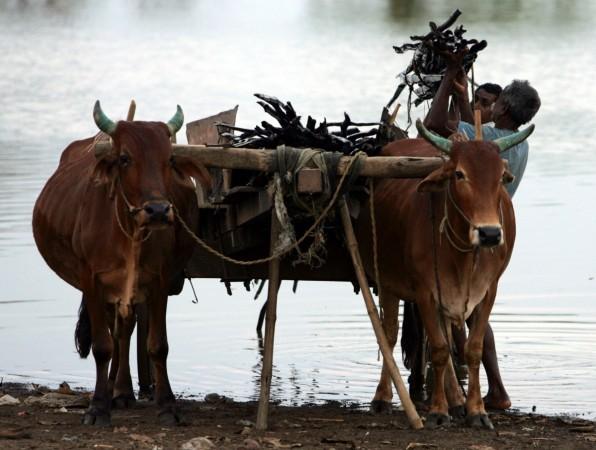 Indian villager loads bamboo on a cart in Chhattisgarh