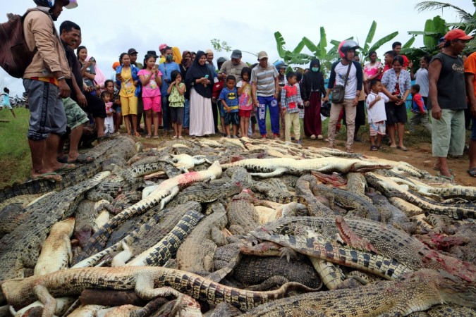 The carcasses of hundreds of crocodiles from a farm