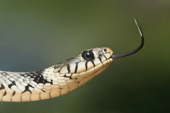 A snake is shown here for representational purpose