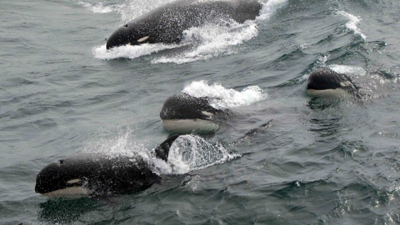Scientists May Have Discovered New Species Of Killer Whale