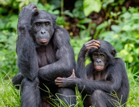 Genetic evidence shows bonobos mated with a mystery ancient lineage, unlike chimpanzees
