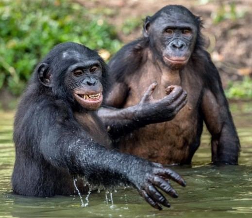 Bonobos may have mated with an ancient mystery great ape for thousands of years