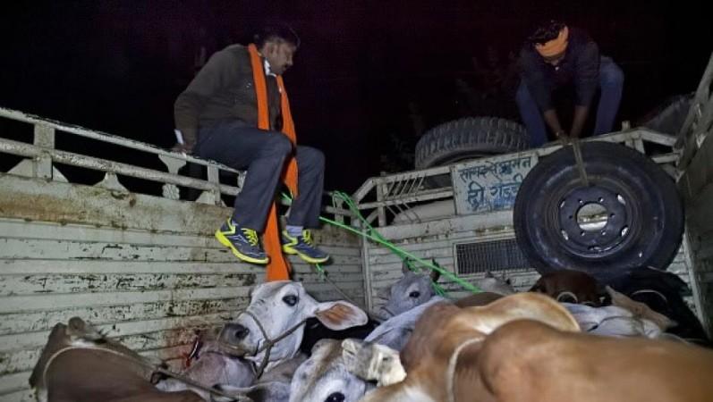 Cow vigilantes