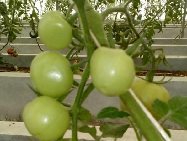 New tomato species