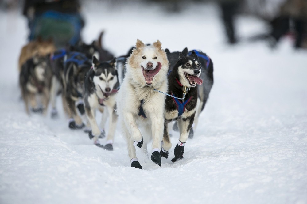 The Iditarod race commemorates a 1925 rescue mission that carried diphtheria serum to Nome by sled-dog relay.