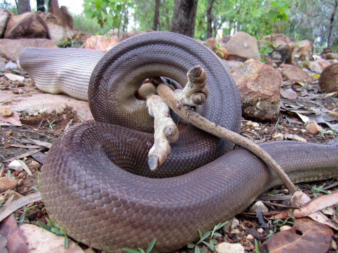 Ranger at Nitmiluk National Park takes photos of python devouring wallaby