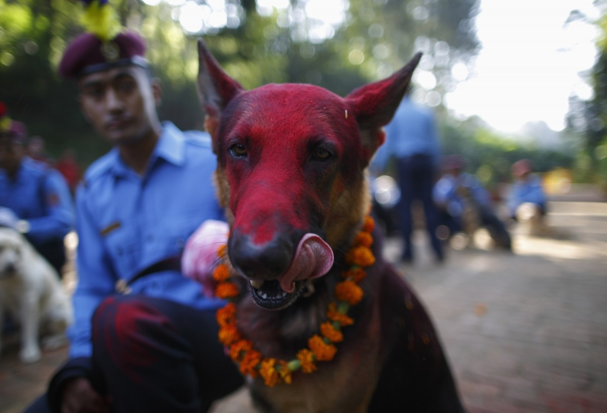 A police dog licks its face after receiving food during the dog festival, as part of celebrations of Tihar at Nepal Police Academy in Kathmandu October 22, 2014
