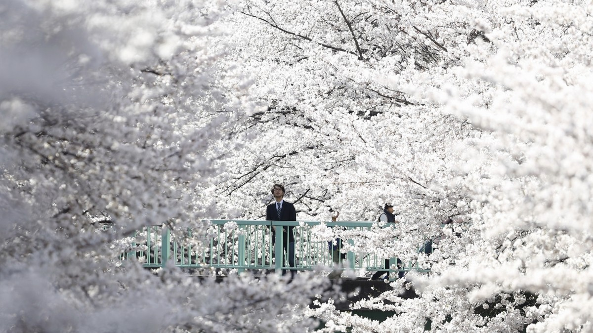 Cherry blossoms in full bloom in Tokyo