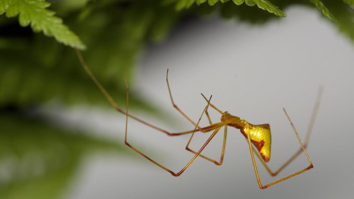 Hawaiian stick spiders