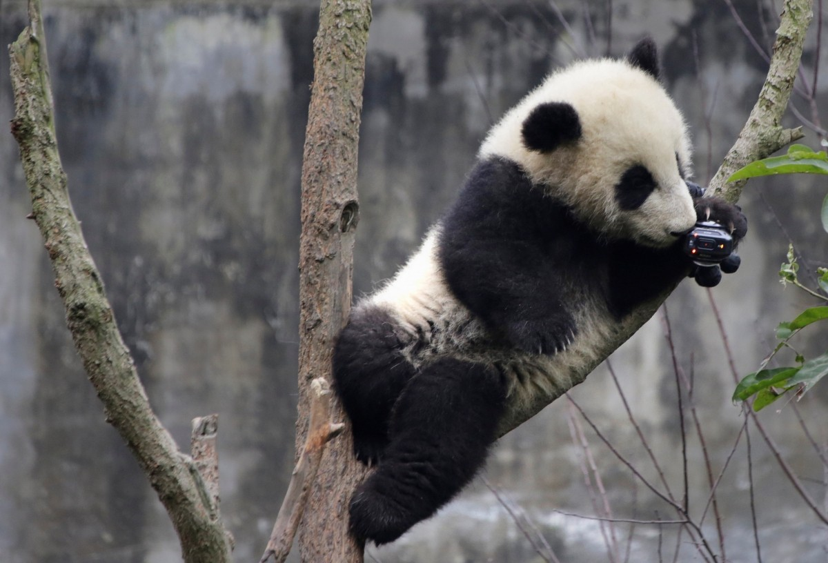 A baby giant panda is interested in a camera set up on a tree at Chengdu Research Base of Giant Panda Breeding in Chengdu, Sichuan province, China
