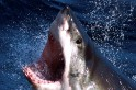 Supervillain Lair? Hundreds of Great White Sharks congregate mid-Pacific in the winter