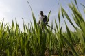 Big bonanza for farmers: Govt hikes MSP for rabi crops from 50% to 109%