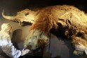 Russia to bring back to life Woolly Mammoths, many other extinct species in Jurassic Park-styled enclosure