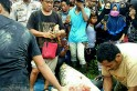 Indonesian woman scientist eaten up by a crocodile who jumped an 8-foot wall