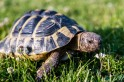 100-year-old tortoise runs away from home, travels only a mile in 7 days