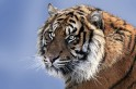 Hunters of man-eating tigress accused of killing 13 people in Maharashtra can shoot to kill: Supreme Court
