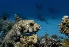 25. Pufferfish