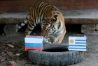 Yunona, a six-year-old female Amur tiger, attempts to predict the result of the soccer World Cup match between Uruguay and Russia during an event at the Royev Ruchey Zoo in Krasnoyarsk, Russia