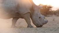 In Kenya, the end is nigh for northern white rhinos