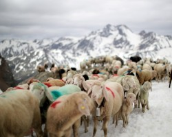"Sheep make their way in front of Hochjochferner glacier in the region of Tyrol, Austria. By the end of it, the 1,500 sheep reach their summer pastures in Oetztal - a 10-mile trek from one valley to another that has survived wars and outlasted empires. Sheep cross the alpine pass ""Hochjoch"" at 2,856 meters above sea level, in the autonomous region of South Tyrol, Italy, June 9, 2018. Picture taken June 9, 2018."