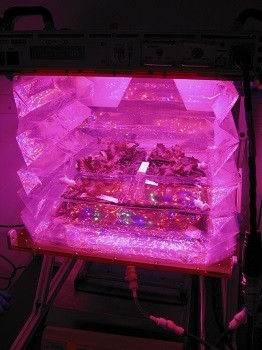 Outredgeous red romaine lettuce plants grow inside a prototype Vegetable Production System (Veggie). Veggie will grow safe, fresh plants for food and provide recreational activity to crew aboard the International Space Station (NASA/Gioia Massa)