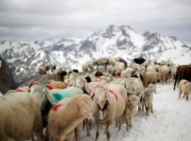 Sheep make their way in front of Hochjochferner glacier in the region of Tyrol, Austria. By the end of it, the 1,500 sheep reach their summer pastures in Oetztal - a 10-mile trek from one valley to another that has survived wars and outlasted empires. Sheep cross the alpine pass