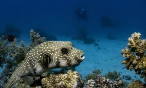 25. Pufferfish