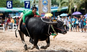 Annual Buffalo Racing in Chon Buri