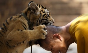 A Buddhist monk plays with a tiger at the Wat Pa Luang Ta Bua, otherwise known as Tiger Temple, in Kanchanaburi.