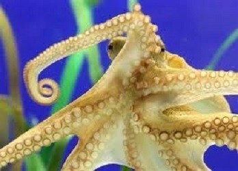 Huge Octopus Attacks and Attempts to Steal Diver's Camera